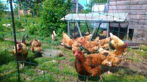 Elever des poules ?  en visio conférence