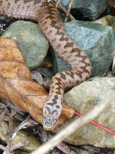 Les serpents du Beauvaisis en visio conférence
