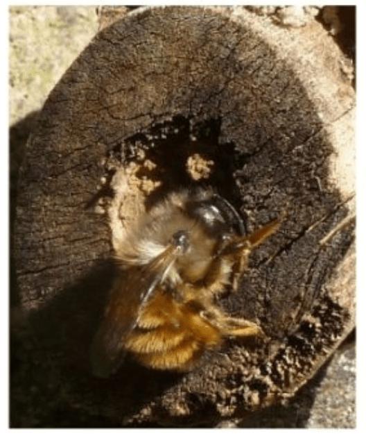 Les abeilles solitaires : Osmia comuta