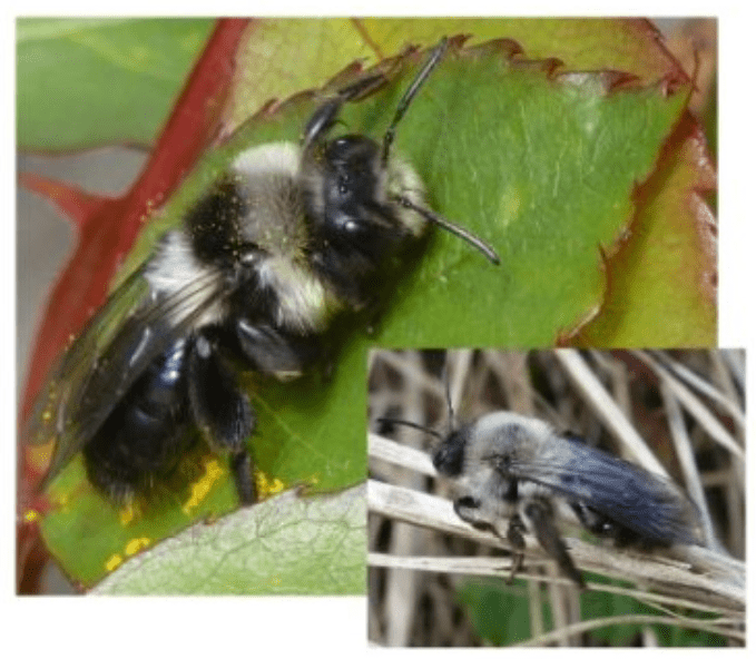 Les abeilles solitaires du printemps