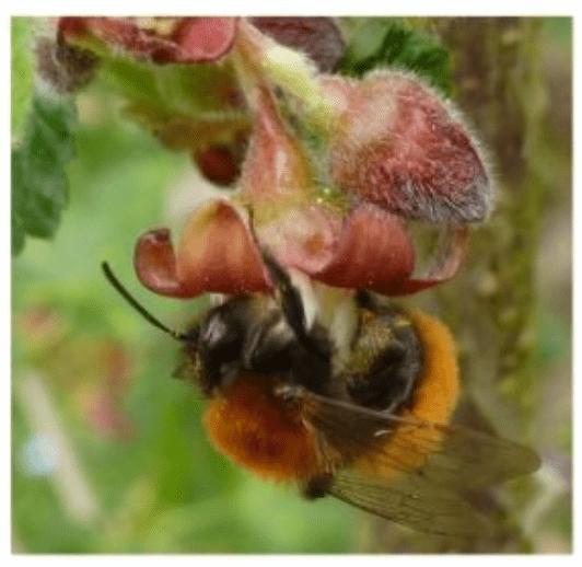 Les abeilles solitaires : Andrena fulva