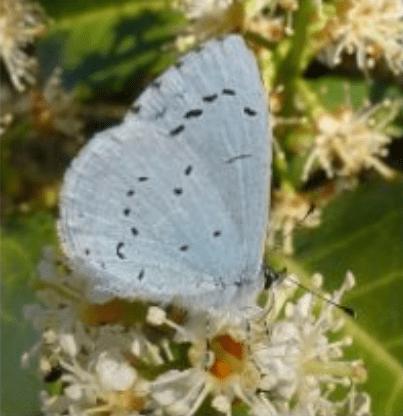 les papillons : Azuré des nerpruns
