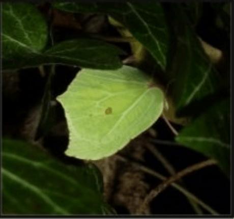 les papillons : le citron
