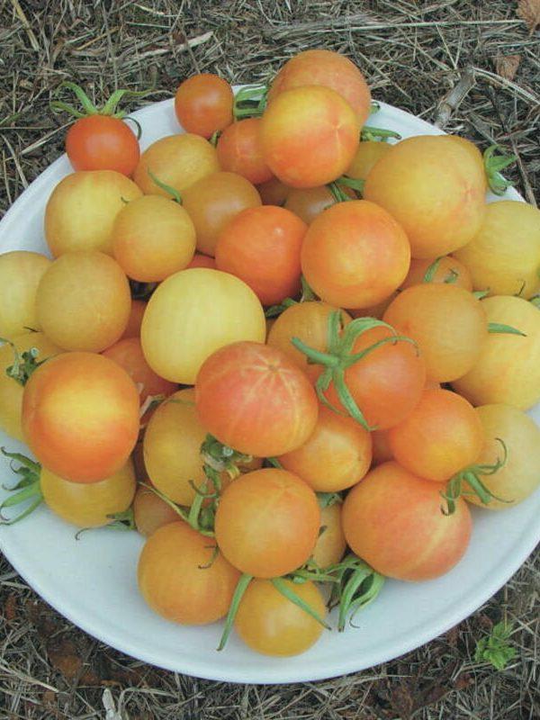 Bourse aux plantes : Tomates cerises