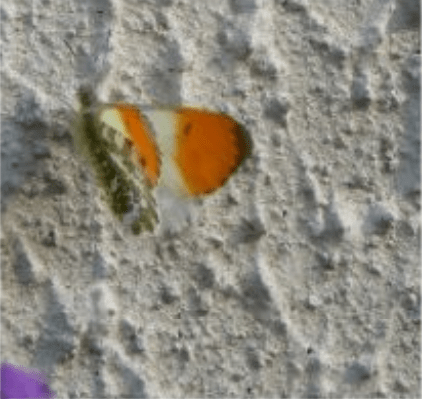 les papillons : Aurore