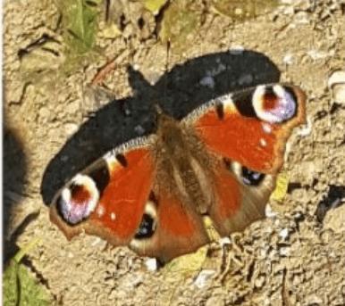 les papillons : Le Paon-du-jour