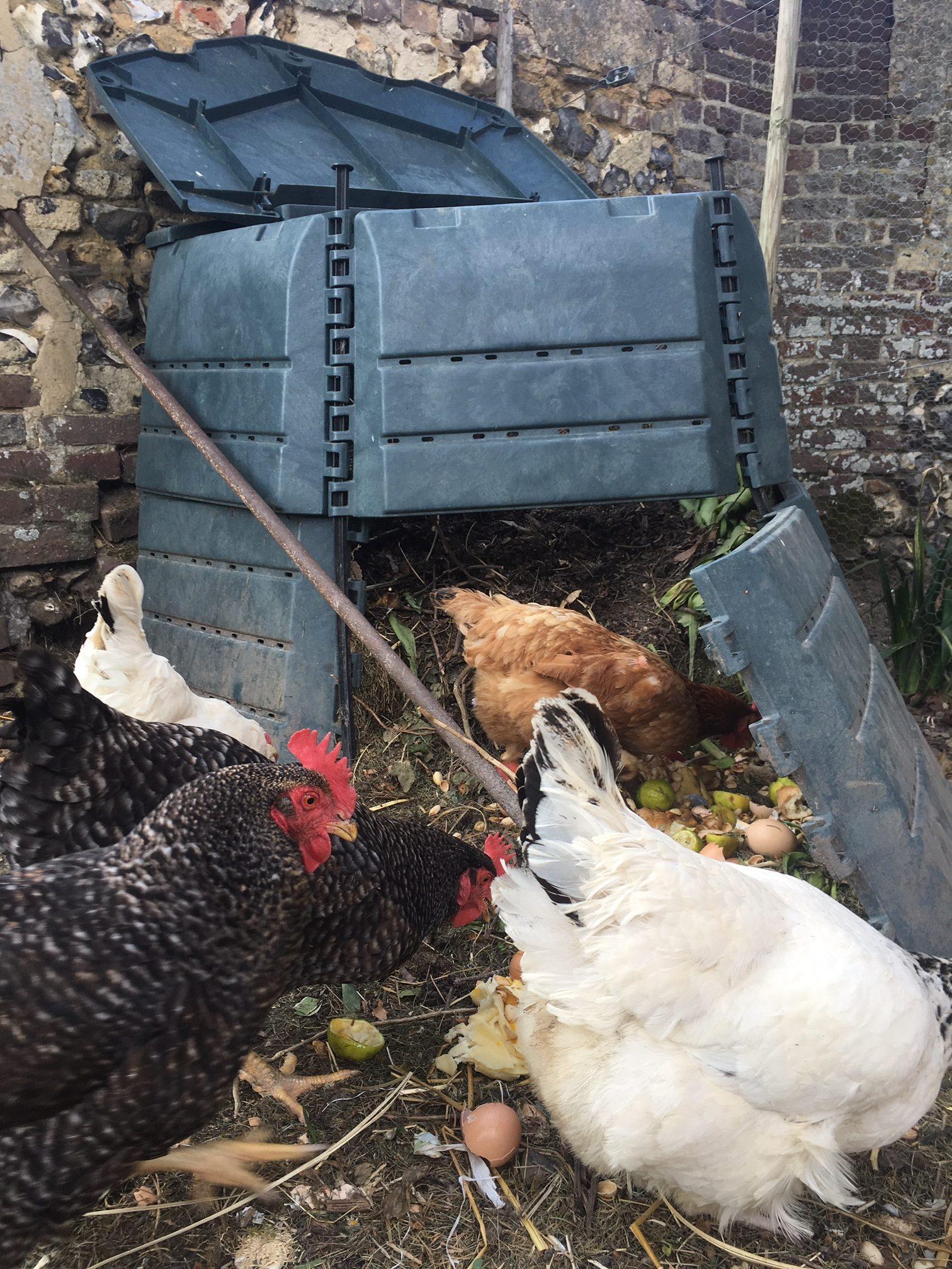 Les poules au compost (Fleur)